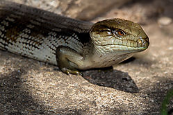 Southern_Bluetongue_Lizard.jpg