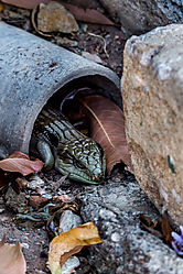 Southern_Bluetongue_Lizard_4.jpg