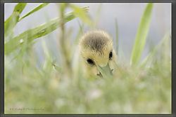 baby_goose.jpg