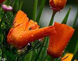 Wet_Poppy-4.jpg