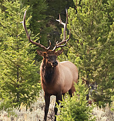 DSC_1275_Bull_Elk_Cropped.jpg