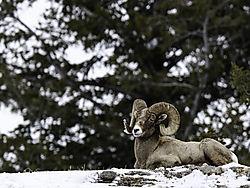 DSC_6961_Long_Horn_Sheep_From_LR_Cropped_for_Posting.jpg
