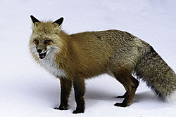 DSC_7457_Red_Fox_From_LR_Cropped_for_Posting.jpg