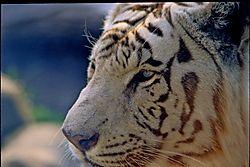 Tiger-002.JPG