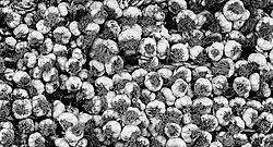 Small_Anyone_for_garlic.jpg