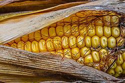 mc-Corn-07411-12x8.jpg