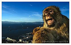 4302AngryMonkey-Gibraltar.jpg