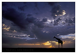 4302Giraffe_Sunset.jpg