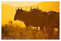 4302Wildebeest-Sunrise.jpg