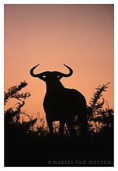 4302Wildebeest-silhouette.jpg