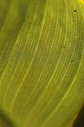 5868Broad-Leaf_.jpg