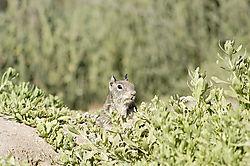 5868DSC_-ground-squirrel2032.jpg