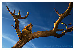 4302Macaque-in-tree.jpg