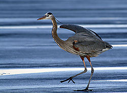 4921ice-dance-heron-web-8104.jpg