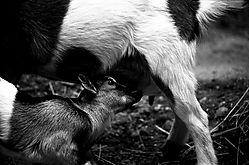 4921nursing-goat-bobgall.jpg