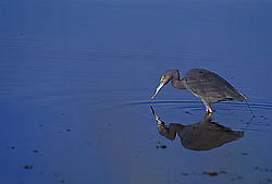 12439Little-Blue-Heron.jpg