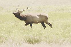 Elk_Aglow_3.jpg