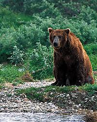 7267Poppa-Bear.jpg