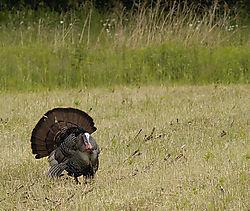 7267Vernon-Wild-Turkey_filtered.jpg