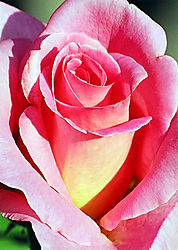 219vertical-rose.jpg