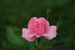 14197Pink_Rose2.jpg