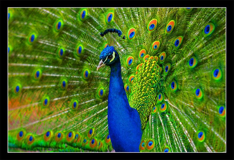 اجمل الطيور الطاووس 8718Peacock_wrk1.jpg