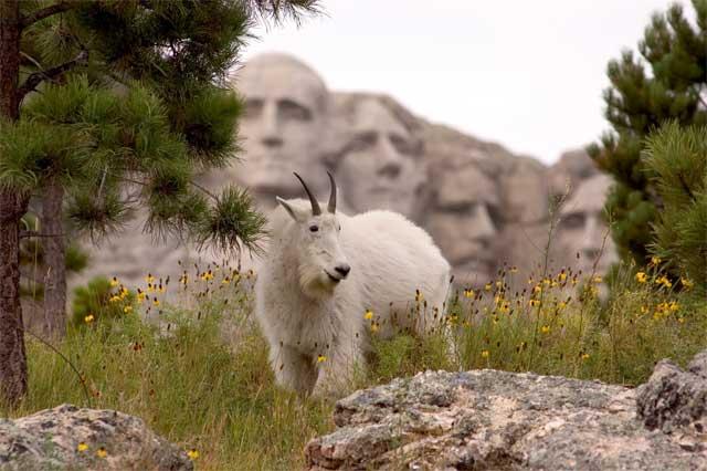 17097Mountain-goat