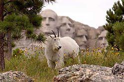 17097Mountain-goat.jpg