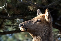 19248elk-face-closeup.jpg