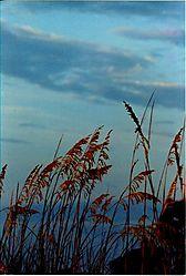 18180Beach_grass--St_Simons_2003.JPG