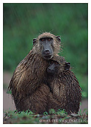 4302Baboons_downpour.jpg