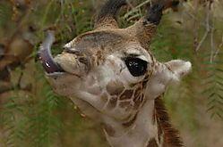 5868Giraffe-Baby.jpg