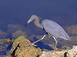 1136Blue-Heron4NK.jpg