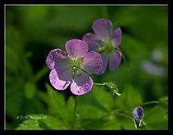18487DSC0100-Wildflower-closeup.jpg
