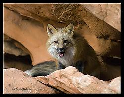 18487DSC7141-Red-Fox-Portrait.jpg