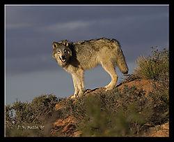 18487DSC7483-Wolf-on-a-Slope.jpg
