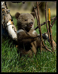 18487DSC9273--Grizzly-in-the-Willows.jpg