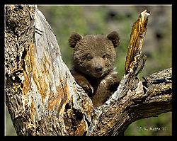 18487DSC9309-Treed-Grizz-Cub.jpg