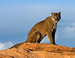 18487Golden-Lion.jpg