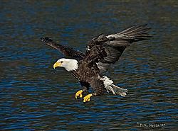 AKA0304-Blue-Water-Eagle.jpg