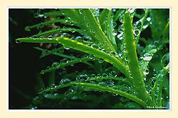 Dew_on_a_YewM.jpg