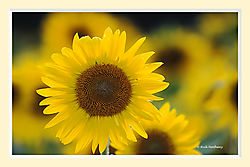 Holcomb_Farm_Sunflowers3S2M.jpg