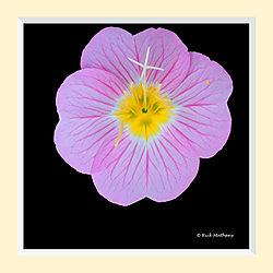 Pink_Evening_Primrose3S3M.jpg