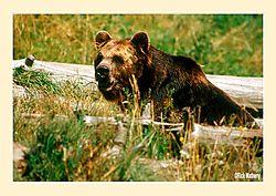 12017Brown-Bear1S2.jpg