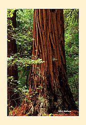 12017Muir-Woods5NS2.jpg
