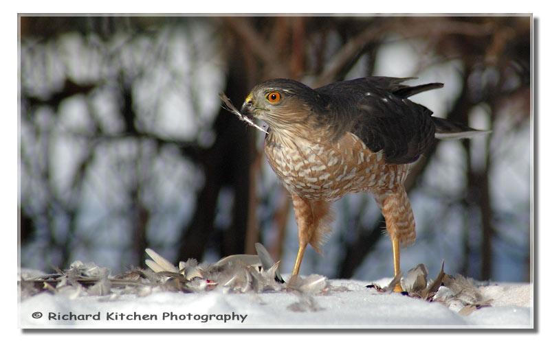 6467Sharp-Shinned-Hawk-Feather