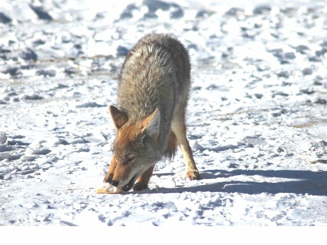 23911coyote_hungry