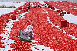 Tomaten_trocknen_Kopie.jpg