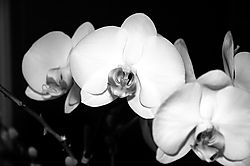 25240orchid-bw.jpg