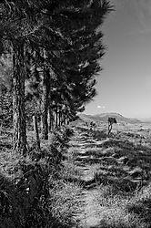 Pine-trees1.jpg